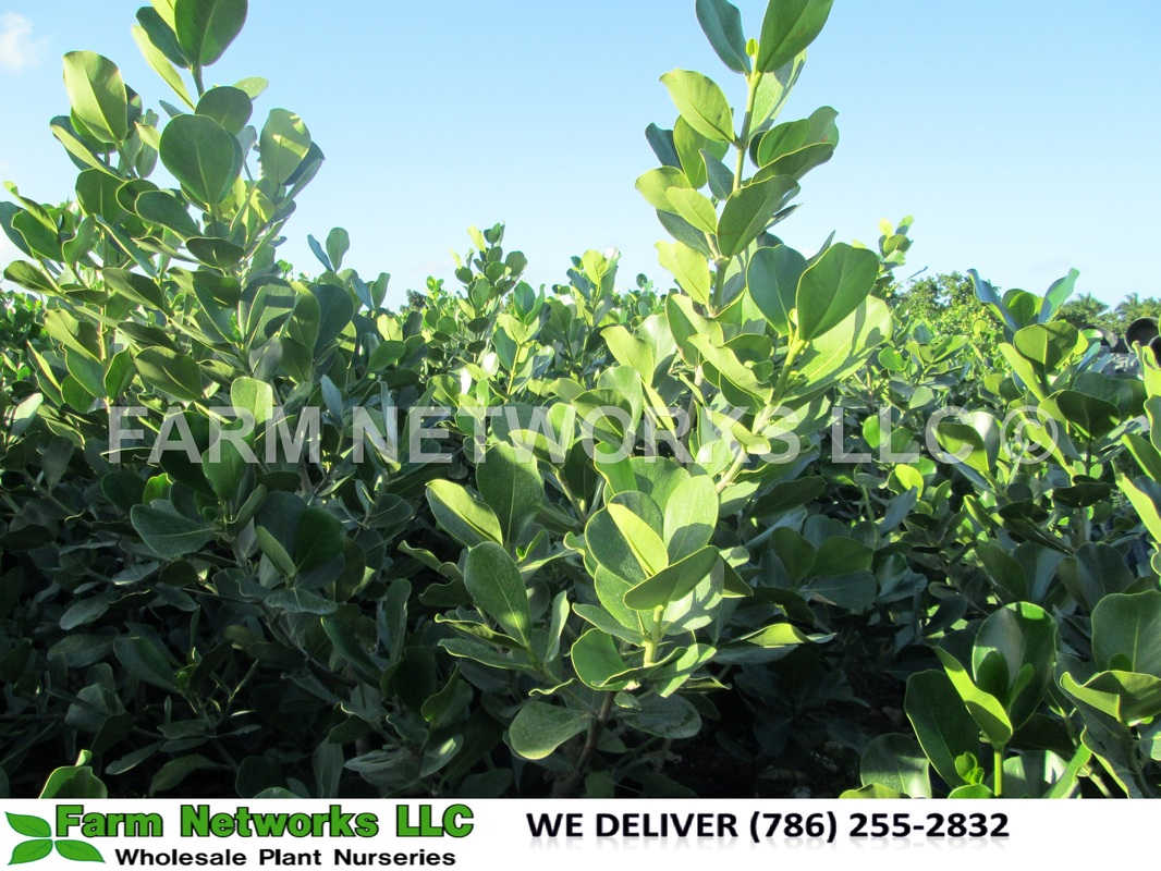Clusia Rosea Hedge Plants Nursery We Deliver 786 255 2832