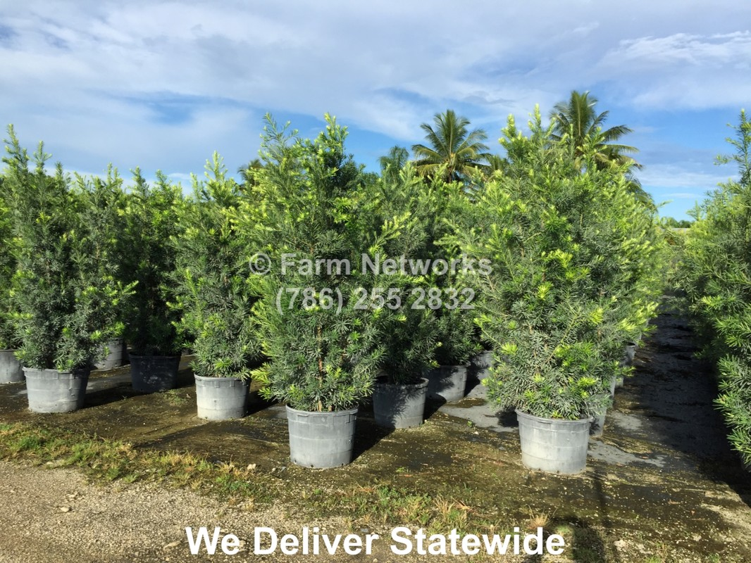 Hedge Plants Nursery We Deliver 786 255 2832 Fast